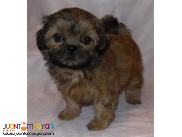 Shih Tzu Female Liver color with Free
