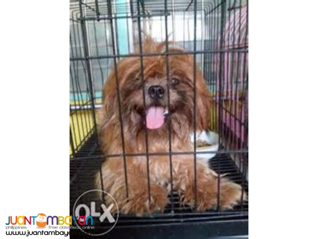 Shih Tzu Stud (liver color)