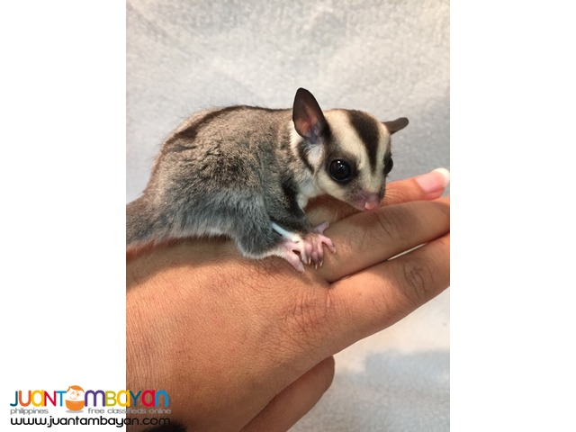 Bonded Pair Of Sugar Gliders Available For Re-homing