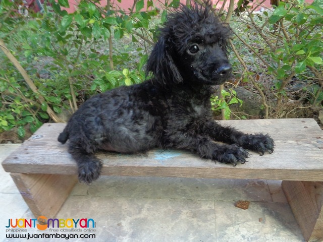 QUALITY TOY POODLE BEST GIFT FOR YOUR KIDS AT HOME