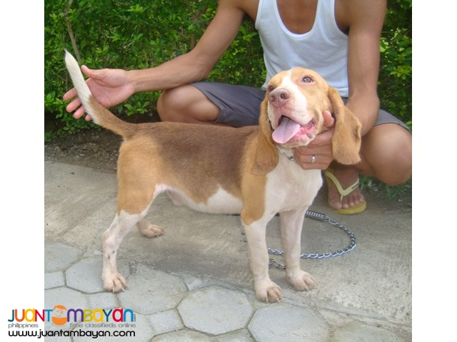 Quality Rare Choco Tri Color Beagle for Rush Sale