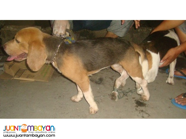 QUALITY RARE BLUE TRICOLOR IMPORTED LINE BEAGLE FOR STUD SERVICE