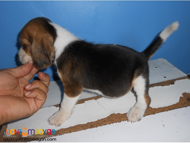 CUTE AND CUDDLY BEAGLE PUPPIES FOR YOUR HOMES
