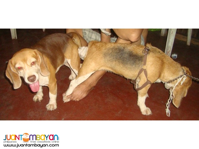 QUALITY RARE CHOCO TRICOLOR COMPACT STUD BEAGLE 22 RED MARKS