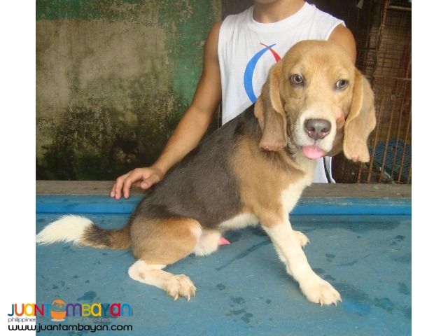QUALITY STUD BEAGLES 22, 25, 28 REDS RARE COLORS AVAILABLE