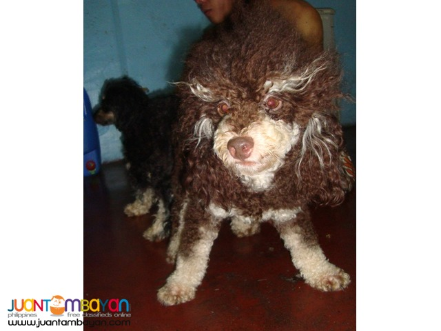 VERY PROLIFIC CHOCO PHANTOM STUD POODLE ALREADY WITH MICROCHIP