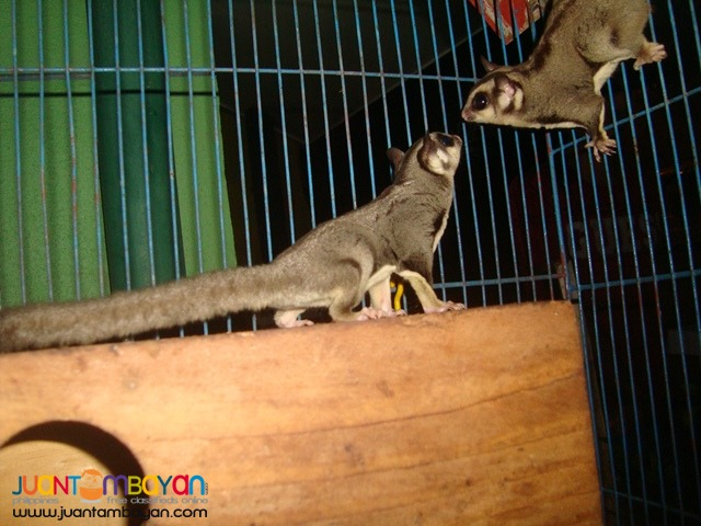 Exotic pets Sugar Gliders try the thrill of a new hobby