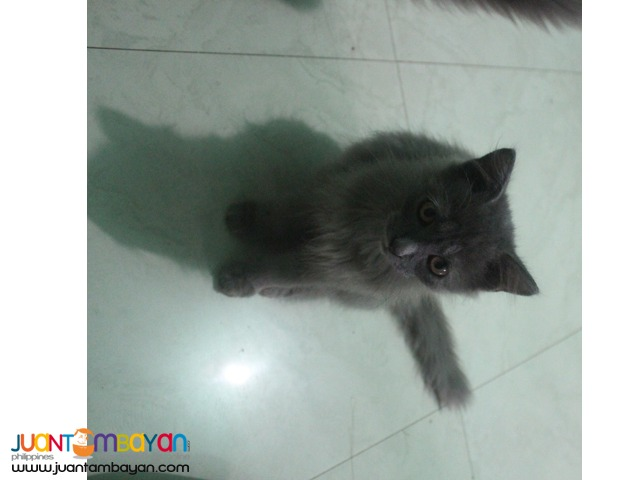 Selling Pure Breed Persian Cat!