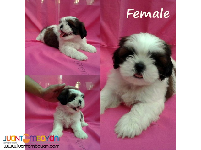pcci papers for sale shih tzu For sale: repriced shih tzu with pcci papers 9,000 only for sale: 4 pups pure shih tzu w/o papers and 2 mix shih tzu.