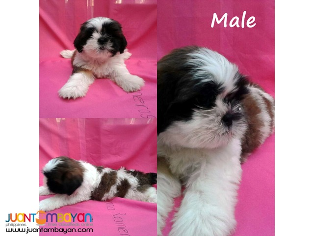 Purebreed Shih Tzu Puppies (w/ papers)