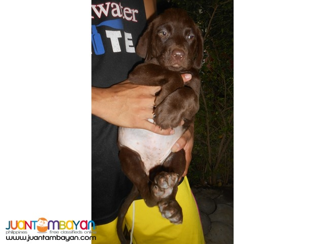 QUALITY XL CHOCO LABRADOR PUPS IMPORTED LINES