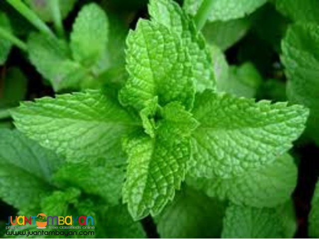 baguio vegetables and herbs supplier/wholesaler