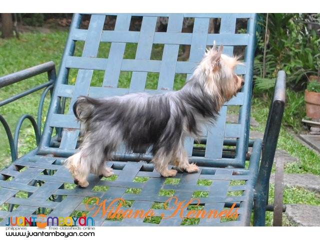 Amy - Female Yorkshire Terrier Yorkie FOr Sale!!!