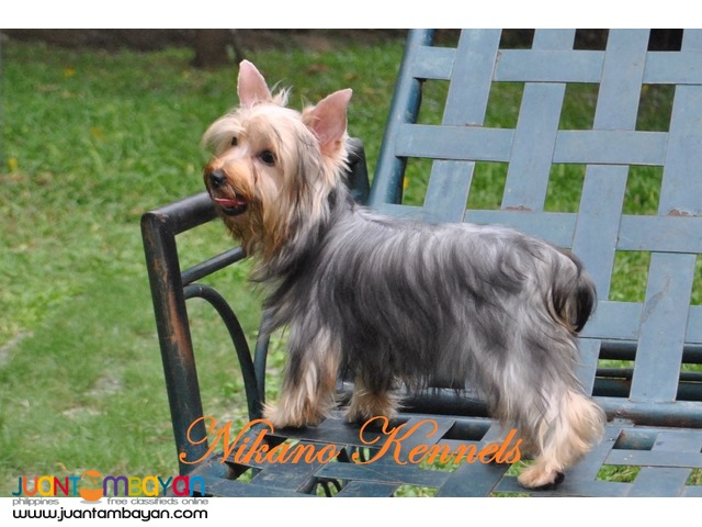 Angel - Female Yorkshire Terrier Yorkie Puppy For Sale!!!
