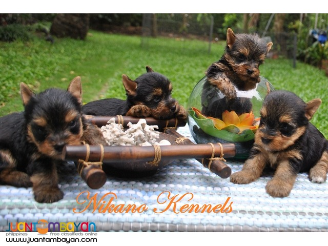 YORKSHIRE TERRIER YORKIE PUPPIES FOR SALE!!!