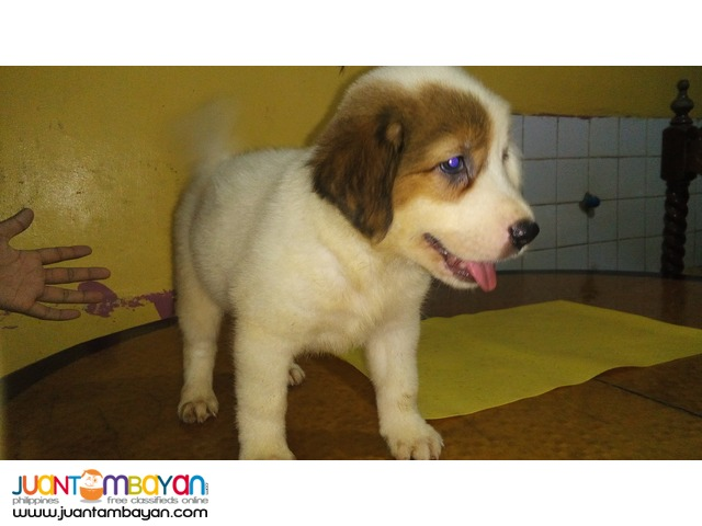 Mixed Breed Puppies FOR SALE! (Chow Retriever Mixed)