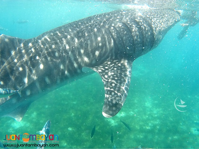 Oslob whale shark watching, cebu tour package