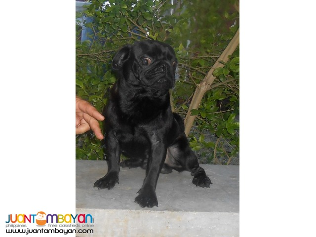 STUD BLACK PUG VERY PROLIFIC STUD BLACK LINE PRODUCER