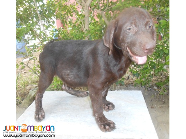 Quality Bred Choco Labrador Male My Pick Left Rush