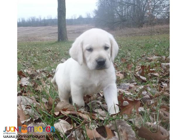 labrador pup for adoption