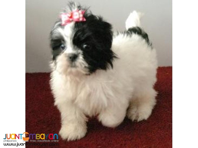 shih tzu pupies