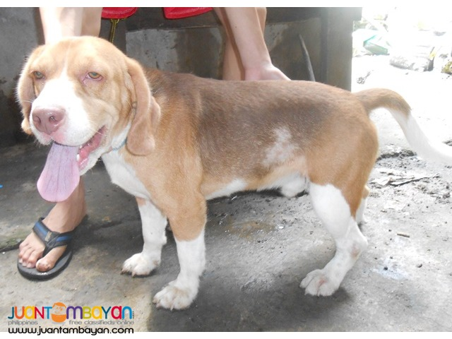 QUALITY HUGE HEAD COMPACT BODY RARE CHOCO TRICOLOR STUD BEAGLE