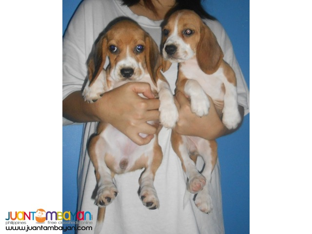 Quality Strong Aussie beagle Puppies 22 red marks for Grabs