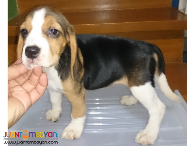 Quality Beagle Puppy Best Gift for your Kids this Christmas