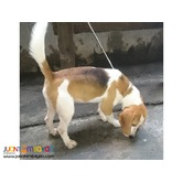 SUPERB LINE BEAGLE FEMALE RUSH SALE NEAR HEAT KENNEL REDUCTION