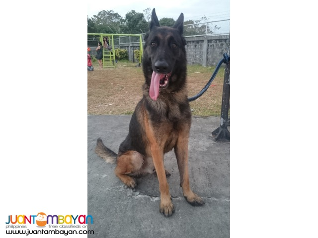 Quality stud Belgian Malinois XL 3 studs to choose from