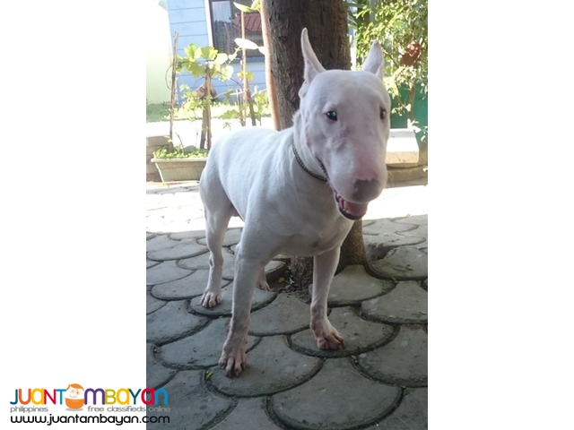 Quality Mini Bull Terrier White stud Very Prolific stud