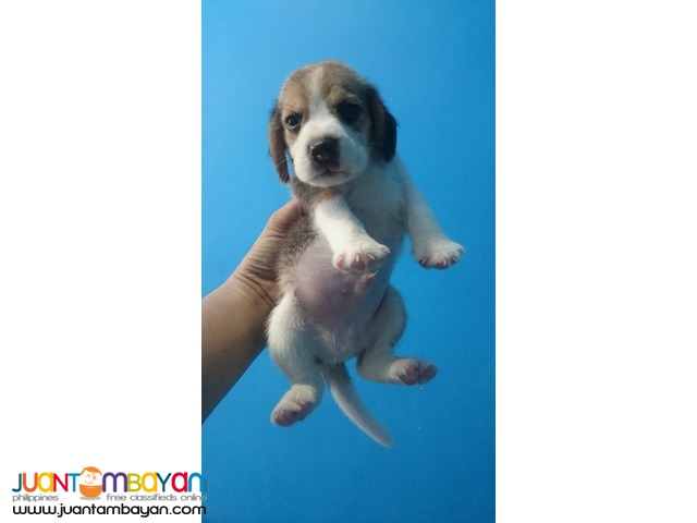 22 RED MARKS STRONG AUSTRALIAN LINEAGE BEAGLE PUPPIES FOR GRABS