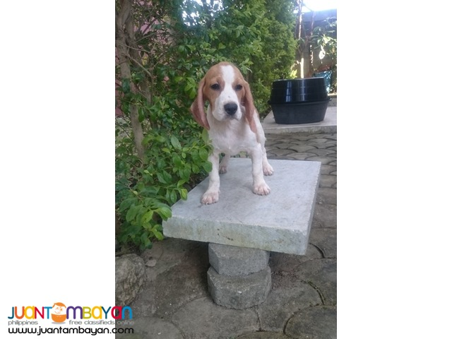 QUALITY BEAGLE PUPPIES 22 CHAMP MARKS STRONG AUSSIE LINE