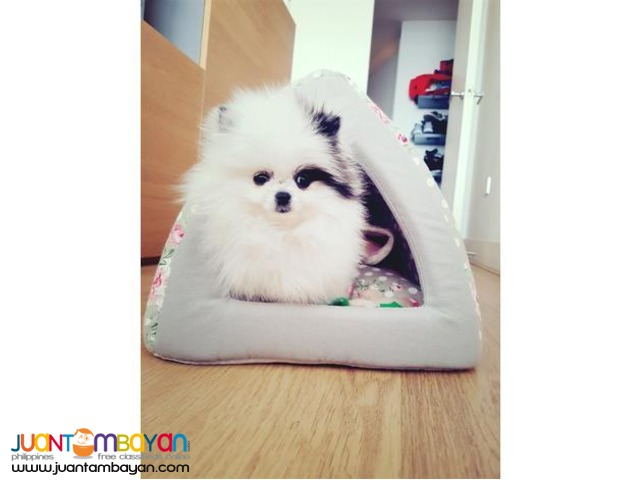 Stunning one in million teacup pomeranian girl available