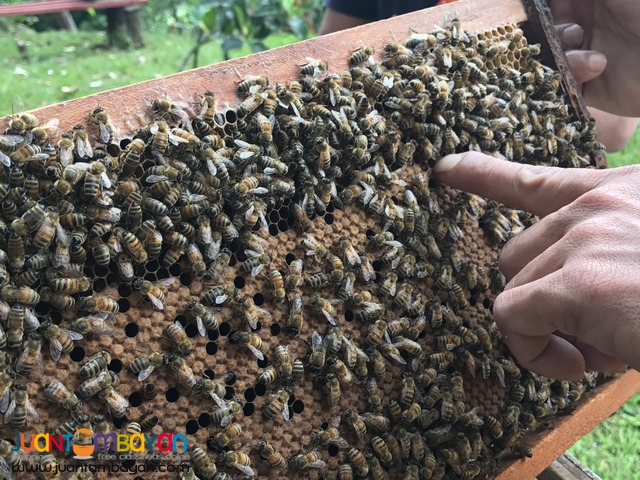 PURE RAW HONEY FROM APIS MELLIFERA COLONIES