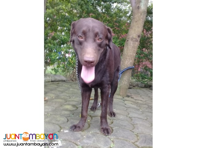 Quality XL Choco Labrador Proven for Stud See to Appreciate
