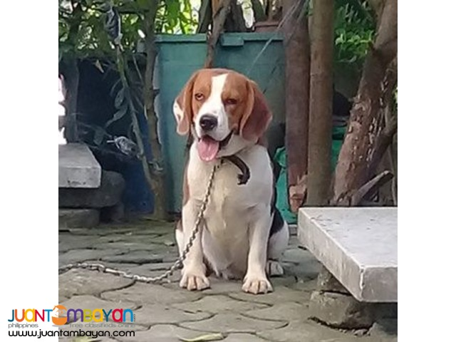 QUALITY FRESH BEAGLE STUD 20 RED MARKS IMPORTED CHAMP LINE