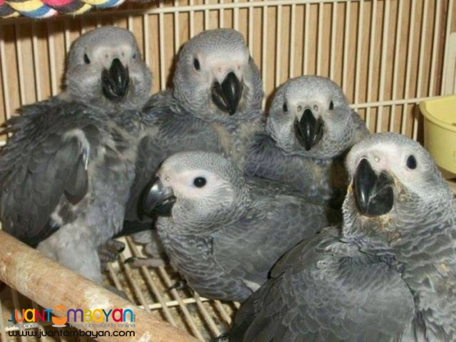 Available Hyacinth Macaw Parrots For Sale