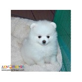 Exclusive pure white Pomeranian puppies for sale