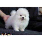 Super Small Pure White Pomeranian Puppies