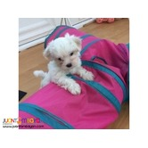 Teacup Maltese Puppies Ready For Sale