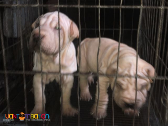 Quality Sharpei puppies For grabs