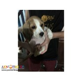QUALITY BEAGLE PUPPIES BEST GIFT FOR YOUR KIDS