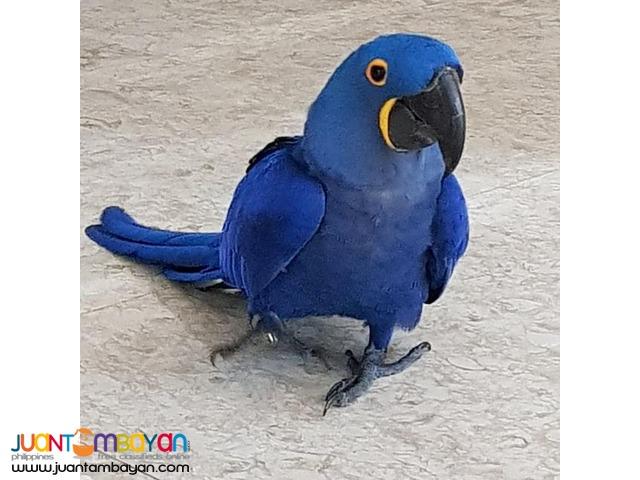 Buy Hyacinth Macaw Scarlet Macaw