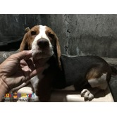 Quality Beagle Puppies Champ Lineage