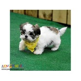 Beautiful Imperial Shih Tzu Babies