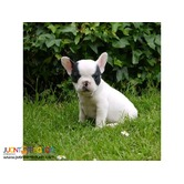 ACK 3 months old French Bulldog Puppy