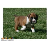 Champion lines Boxer puppies