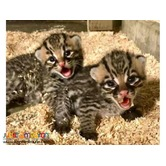 Available Savannah Kittens,Tiger Cubs and Lion Cubs For sale