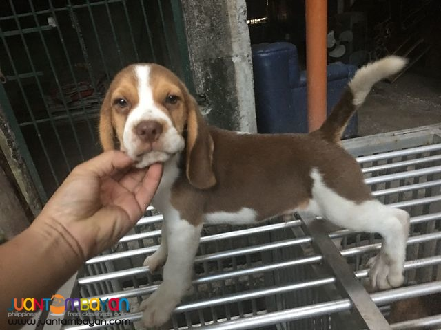 Quality Choco Liver tri color Beagle Pick of the litter